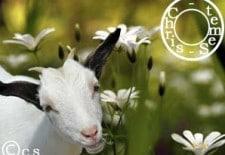 Ⓒhèvre 羊 : Votre Horoscope 2013