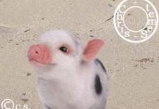 Ⓒochon ou Sanglier 猪 : Votre Horoscope 2013